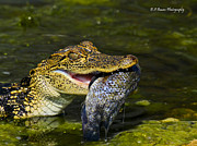Florida Nature Photography Originals - Gator gobbles a fish by Barbara Bowen