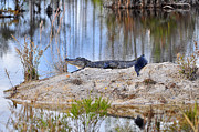 Al Powell Photography USA - Gator on the Mound