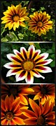 Big 3 Digital Art Prints - Gazania - Kiss Series Print by J McCombie