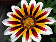 Red Wine Prints Framed Prints - Gazania named Big Kiss White Flame Framed Print by J McCombie