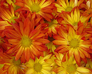 Gazania Painterly Print by Peter Piatt