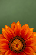 Mothers Day Prints - Gazania Rising Print by Anne Gilbert
