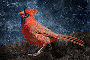Male Northern Cardinal Posters - Gaze of the Redbird Poster by Bonnie Barry