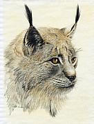Bobcat Drawings Posters - Gazing Lynx Poster by Phyllis Howard