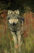 Predaceous Prints - G&b Grambo, Male Grey Wolf In Clearing Print by Rebecca Grambo
