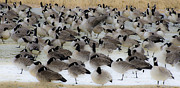 Canadian Geese Art - Geese Abstract 2 by Dave Dilli
