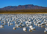Snow Geese Framed Prints - Geese at Bosque Del Apache Framed Print by Kurt Van Wagner