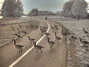 Parks And Wildlife Posters - Geese Crossing Poster by Jane Linders
