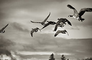 Joseph Duba - Geese in Flight 2013