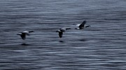 Canadian Art - Geese in Flight by Don Mann
