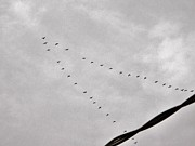 Geese Print by Judy Via-Wolff