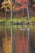 Wine Reflection Art Posters - Geese On Beebe Lake Poster by Michele Steffey