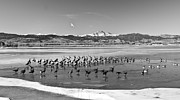 James BO  Insogna - Geese On Ice BW