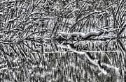 Geese On Pond Black And Wihite Print by Dan Friend