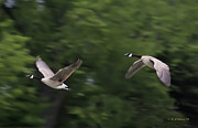 Brian Wallace - Geese Pair In Flight