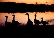 Geese Originals - Geese Silhouette  by Jeff Klingler