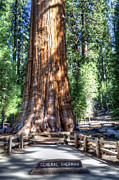 Sequoia Tree Prints - General Sherman Sequoia National Park Print by Steve Sturgill