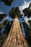 Tallest Framed Prints - General Sherman Tree Framed Print by Timothy Johnson