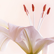 Barbara Smith Metal Prints - Gentle Lily Metal Print by Barbara Smith