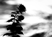 Silhouette Photos - Gentle Silhouette  by Bob Orsillo