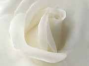 White Florals Framed Prints - Gentle White Rose Flower Framed Print by Jennie Marie Schell