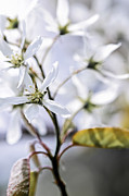 Budding Posters - Gentle white spring flowers Poster by Elena Elisseeva