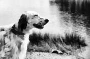 Bird Dog Posters - Gentleman by Nature. English Setter. Monochrome Poster by Jenny Rainbow