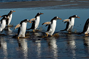 Seabirds Prints - Gentoo Penguins Walking Print by Hiroya Minakuchi
