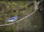 Georgia Bluejay In Spring Print by Cris Hayes