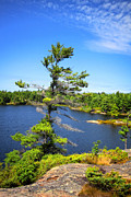 Bay Islands Framed Prints - Georgian Bay Pine Tree Framed Print by Charline Xia