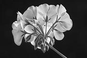 James BO  Insogna - Geranium Flower In Progress Black and White
