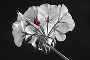 James BO  Insogna - Geranium Flower In Progress