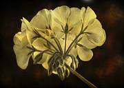 James BO  Insogna - Geranium Flower Texture