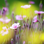 Flowers Garden Photos - Geranium by Heiko Koehrer-Wagner