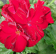 Mark Brady - Geranium in Red
