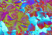 Geraniums Framed Prints - Geraniums in a Psychedelic Light Framed Print by Richard Henne