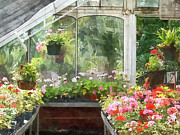 Red Geraniums Prints - Geraniums in Greenhouse Print by Susan Savad