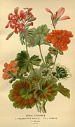Flora Drawings Prints - Geraniums Print by Unknown
