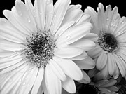 Raindrops Prints - Gerber Daisies in Black and White Print by Jennie Marie Schell