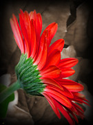 Gerber Daisy Bashful Red Print by Ella Kaye