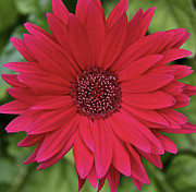 Susan Crossman Buscho - Gerber Daisy in Red