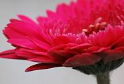 Amee Stadler - Gerber in Pink