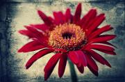 Texture Floral Mixed Media Prints - Gerbera Print by Angela Doelling AD DESIGN Photo and PhotoArt