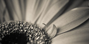 Hannes Cmarits Metal Prints - Gerbera Blossom - Bw Metal Print by Hannes Cmarits