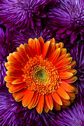 Flowers Gerbera Posters - Gerbera daisy and mums Poster by Garry Gay