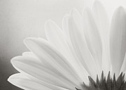 Gerbera Art - Gerbera Daisy - Black and White by Jessie Gould