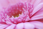 Snug Digital Art - Gerbera Daisy Flower - Pink by Natalie Kinnear