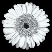 White Bloom Posters - Gerbera Daisy Monochrome Poster by Adam Romanowicz