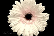 Jeannie Rhode - Gerbera Daisy White and...