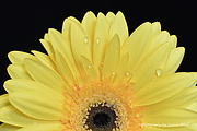 Jeannie Rhode - Gerbera Daisy Yellow Fan